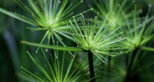 観葉植物シぺラスの育て方