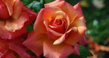 バラの剪定方法