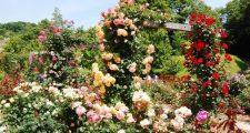 バラのオベリスクの育て方
