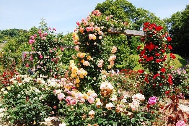 バラのオベリスクでの植え方