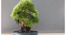 盆栽におすすめなダイモンジソウの育て方