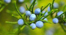 ブルーベリーを鉢植えで育てる