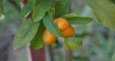 果実も楽しめる常緑樹
