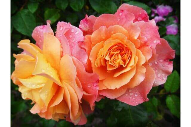 バラの植え付け時期っていつなの?