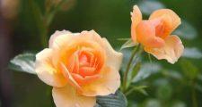 バラの黒斑病の予防策